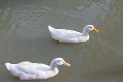 Eine Gruppe Enten lizenzfreie stockfotos