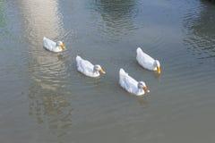 Eine Gruppe Enten stockbild