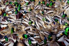 Eine Gruppe Fütterungsenten macht ein verwirrendes Muster Lizenzfreie Stockbilder
