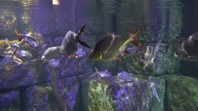 Eine Gruppe Fische, die in das tiefe am Steinhintergrund schwimmen stock video
