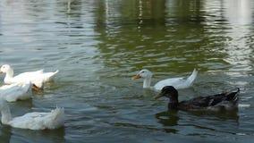 Eine Gruppe glückliche Enten, die durch überschreiten stock video