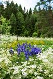 Eine Gruppe Iris siberica Blaublumen Lizenzfreie Stockfotografie