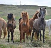 Eine Gruppe isländische Pferde am Zaun stockfotografie