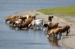 Eine Gruppe Kühe Stockbilder