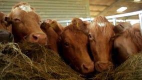 Eine Gruppe Kühe, die auf Futter einziehen stock video footage