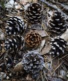 Eine Gruppe Kiefernkegel im Wald Lizenzfreie Stockbilder