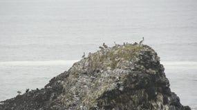 Eine Gruppe Pelikane auf einem Felsen vor der Pazifikküste in Oregon Lizenzfreie Stockbilder