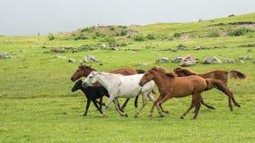 Eine Gruppe Pferde, die durch eine Frühlingswiese laufen Stockbilder
