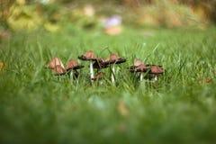 Eine Gruppe Pilze auf einem grünen unscharfen Hintergrund des Rasens, Gras Brown vermehrt sich Giftpilz im Grasabschluß herauf Ma stockbilder