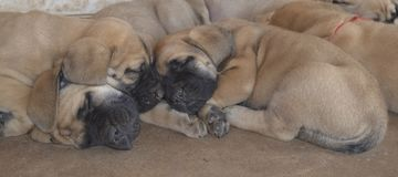 Eine Gruppe reinrassige englische Mastiffwelpen, die draußen schlafen Stockbild
