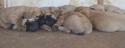 Eine Gruppe reinrassige englische Mastiffwelpen, die draußen schlafen Stockbilder