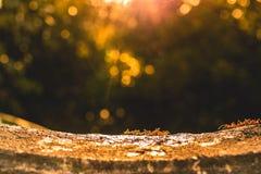 Eine Gruppe rote Ameisen, die unter Sonnenuntergang arbeiten Lizenzfreies Stockbild