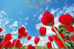 Eine Gruppe rote Tulpen Lizenzfreie Stockbilder
