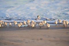 Eine Gruppe Sanderlings gehend weg von Ozean lizenzfreie stockfotografie