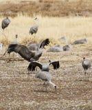 Eine Gruppe Sandhill-Kräne am Bereich der wild lebenden Tiere Whitewater-abgehobenen Betrages Lizenzfreie Stockfotos