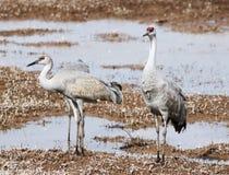 Eine Gruppe Sandhill-Kräne in einem Teich Stockbild