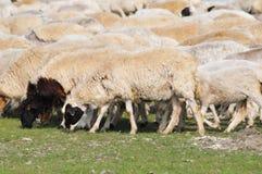Eine Gruppe Schafe an der Wiese Stockbild