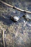 Eine Gruppe Schildkröten, die auf einer Anmeldung ein See sich aalen Lizenzfreies Stockfoto