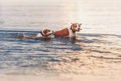 Eine Gruppe starke American Staffordshire Terrier spielen im Wasser mit einem Stock lizenzfreies stockfoto