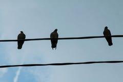 Eine Gruppe Tauben auf einer Stromleitung Stockfotografie