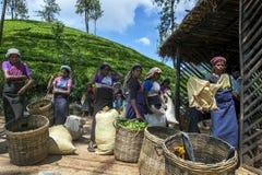 Eine Gruppe Teepflücker warten, um ihre Morgenernte von den Blättern zu haben, die nahe Adams-Spitze in Sri Lanka gewogen werden Lizenzfreie Stockfotografie
