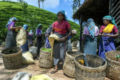Eine Gruppe Teepflücker warten, um ihre Morgenernte von den Blättern zu haben, die nahe Adams-Spitze in Sri Lanka gewogen werden Lizenzfreie Stockfotos