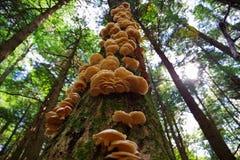 Eine Gruppe von den wilden Austern-Pilzen, die auf einem Baum im Wald wachsen Lizenzfreie Stockbilder