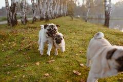 Eine Gruppe von drei Pugs, Hunde laufen auf grünem Gras und Herbstlaub in einem Park, nahe einem See oder einem Teich lizenzfreie stockfotos