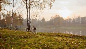 Eine Gruppe von drei Pugs, Hunde laufen auf grünem Gras und Herbstlaub in einem Park, nahe einem See oder einem Teich bei Sonnenu stockfotos