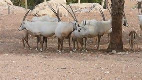 Eine Gruppe von Endangered arabisch oder von Säbelantilope Oryx leucoryx steht nahe bei einer Wasserstelle in der Wüste in Arabis stock video footage