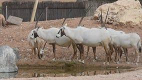 Eine Gruppe von Endangered arabisch oder von S?belantilope Oryx leucoryx steht nahe bei einer Wasserstelle in der W?ste in Arabis stock footage