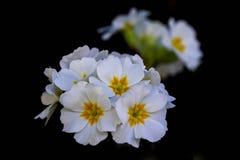 Eine Gruppe von Frühlingskrokussen lizenzfreie stockfotos