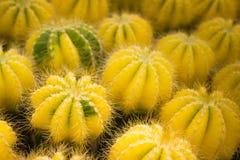 Eine Gruppe von Kaktusfeigen Lizenzfreie Stockfotos