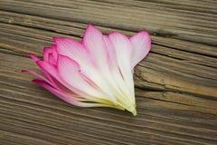 Eine Gruppe von Lotus Petals Stockfotos