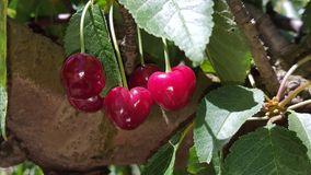 Eine Gruppe von reifen roten Kirschen auf einem Baum in einem Obstgarten Lizenzfreies Stockbild