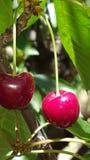 Eine Gruppe von reifen roten Kirschen auf einem Baum in einem Obstgarten Stockfotografie