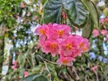 Eine Gruppe von rosa Florida-Blumen hängt in natürlichem Florida-Sonnenlicht Lizenzfreie Stockbilder