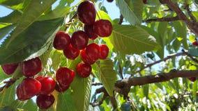 Eine Gruppe von roten reifen Kirschen auf einem Baum in einem Obstgarten Stockbild