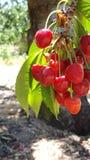 Eine Gruppe von roten reifen Kirschen auf einem Baum in einem Obstgarten Stockfotos