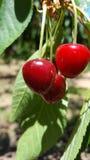 Eine Gruppe von roten reifen Kirschen auf einem Baum in einem Obstgarten Lizenzfreie Stockfotografie