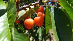 Eine Gruppe von roten reifen Kirschen auf einem Baum in einem Obstgarten Stockbilder