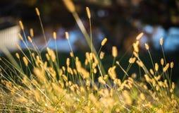Eine Gruppe von Setaria viridis Gras Stockfotos