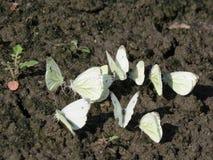 Eine Gruppe weiße kleine Schmetterlinge, die aus den Grund sitzen lizenzfreies stockfoto