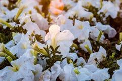 Eine Gruppe weiße Petunien Stockfotografie