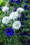 Eine Gruppe weiße und blaue Blumen Stockbilder