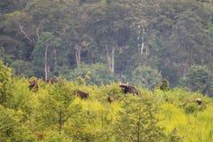 Eine Gruppe wildes gaur Gras im Wald essend Lizenzfreies Stockbild