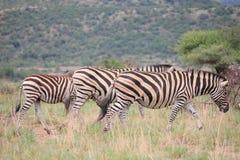 Eine Gruppe Zebras Stockfoto