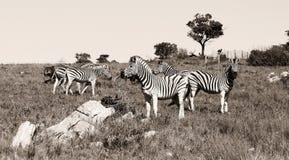 Eine Gruppe Zebras Stockfotos