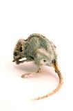 Eine gruselige tote Maus Stockfoto