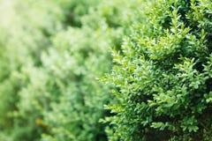 Eine gut landschaftlich gestaltete Hecke des Buschbuchsbaumes Stockfotografie